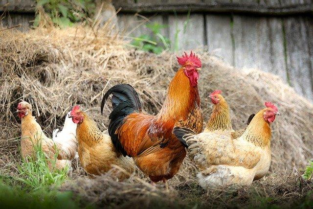 productos abadi, calidad del pollo, avicultura en mexico, tips para identicar la frescura del pollo, carne de pollo mexico